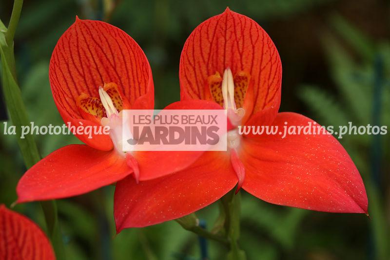 la photothèque | LES PLUS BEAUX JARDINS | Disa Unifoam (disa ...