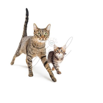 Tabby Cat and Kitten Walking Together on White