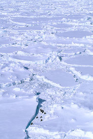 Aerial of Chinstrap penguins and tracks on pack ice. Weddell Sea, Antarctica