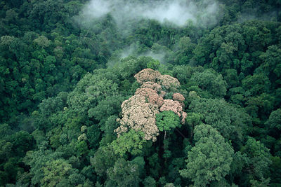 Aerial view of tropical rainforest canopy with mist and flowering tree, Corcovado NP, Costa Rica..Filmed for BBC Planet Earth...