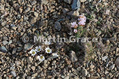 Edmonston's Chickweed (Shetland Mouse-Ear) (Cerastium nigrescens ssp nigrescens) (left) with Thrift (Armeria maritima), Keen ...