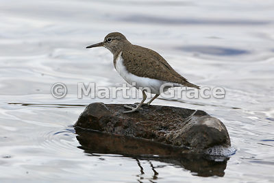 Common Sandpiper (Actitis hypoleucos) standing on a rock about to defaecate,  Lochindorb, Inverness-shire, Scotland: Image 1 ...