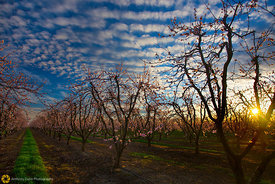 Dramatic Sky Over Peach Orchards #2