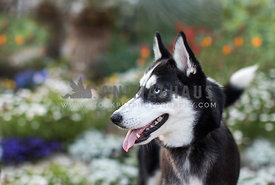 happy husky dog smiling to side with flowers in the background