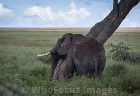 An elephant (Loxodonta africana africana) scratching itself on a tree, Serengeti National Park, Tanzania; Landscape