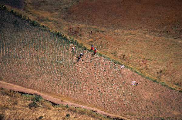 Aerial view of Andean harvest on mountain slopes, Urubamba valley, Peru