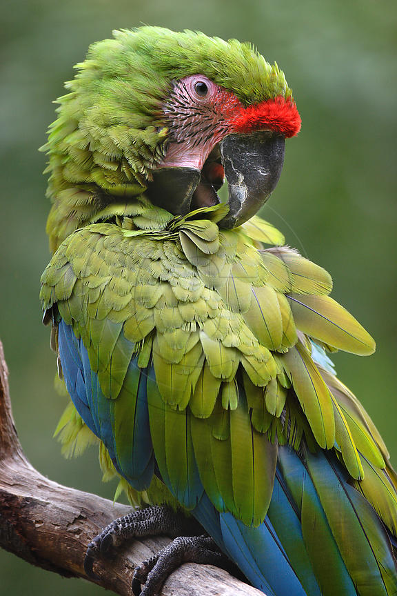 Portrait of a Great green macaw preening its feathers