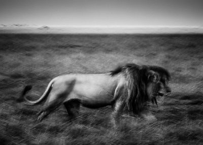 5922-Lion_running_in_the_evening_Kenya_2013_Laurent_Baheux