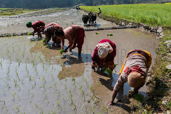 Women Planting Rice in a Paddy Field