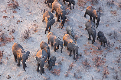 Aerial view of African elephant family (Loxodonta africana) travelling through parched landscape during drought conditions, N...