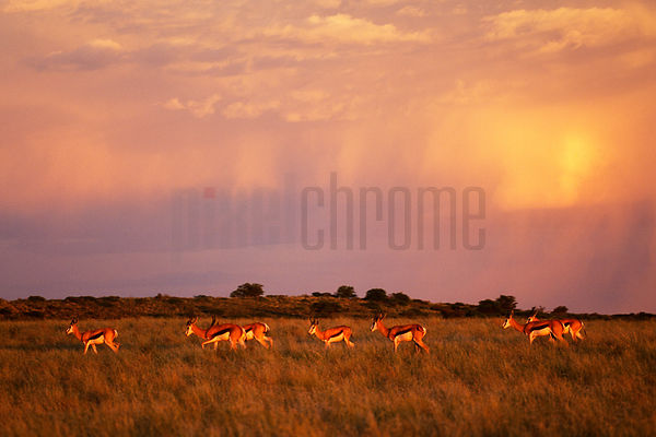 Springbok Walking in Grassland