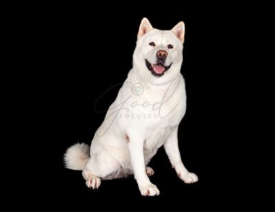 Happy Akita Dog Sitting Over Black Background