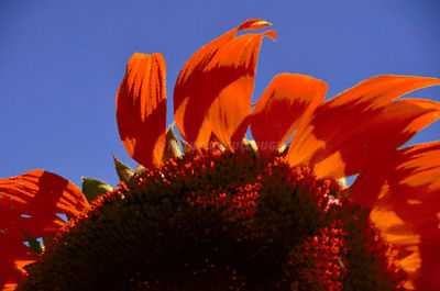 Orange sunflower