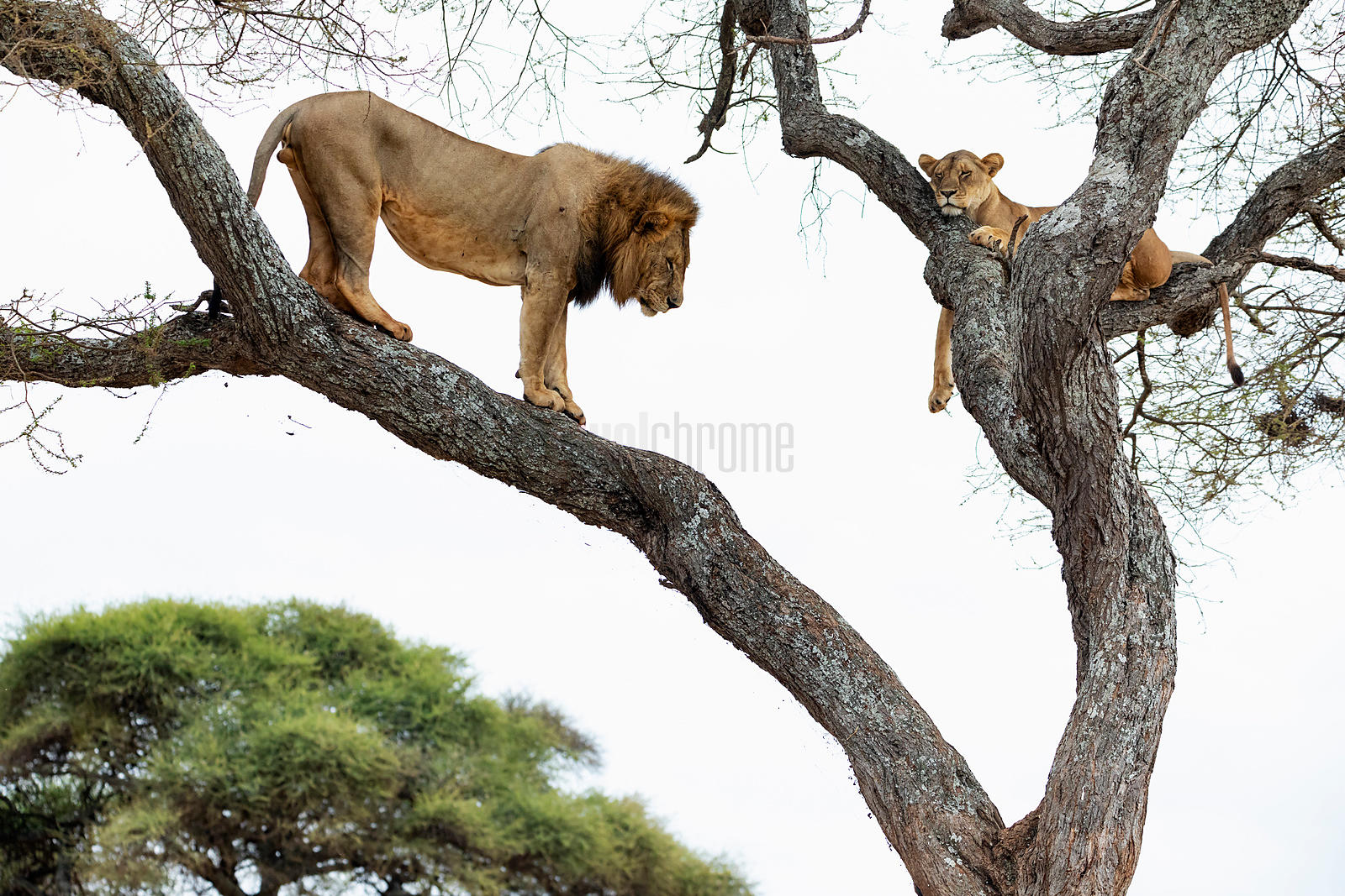 Male Lion Waiting to Mate with a Lioness
