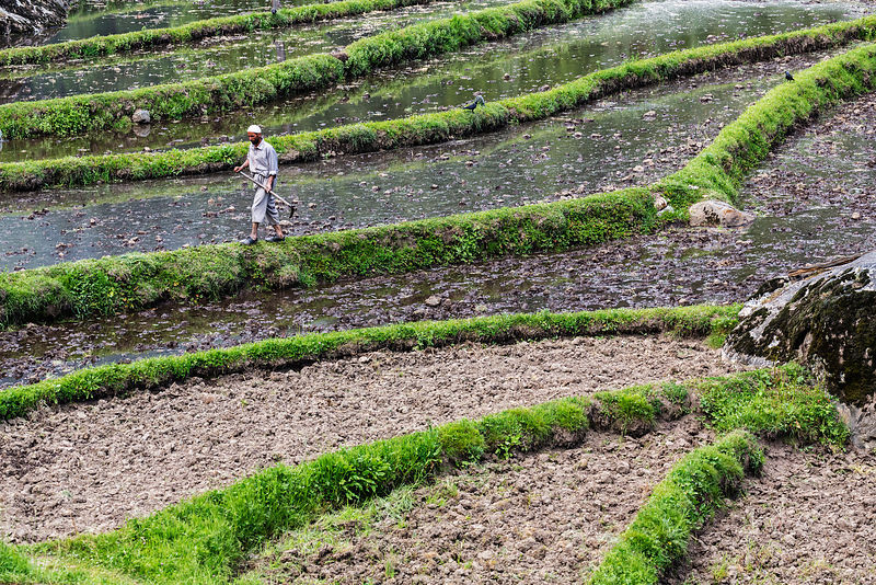 Farmer Walking on the Edge of a Rice Paddy
