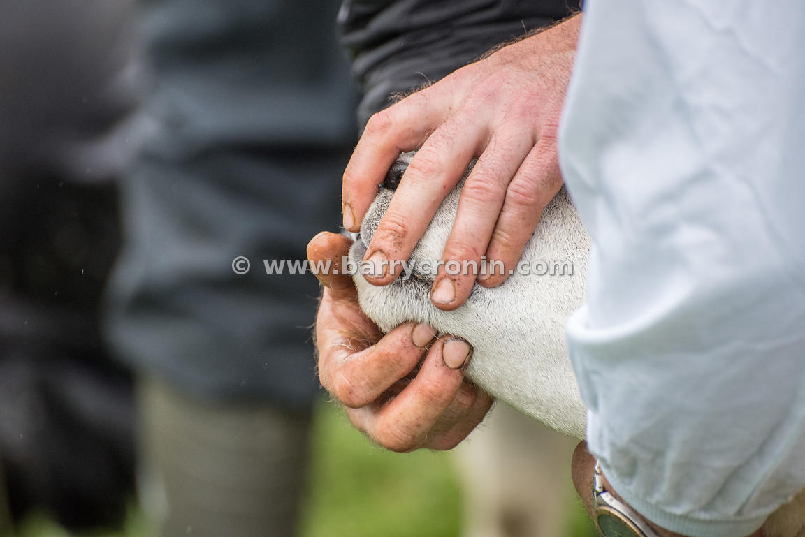 19th August, 2015.The 74th Virginia Agricultural Show, Virginia, County Cavan. Pictured is handler showing off a Texxel sheep...