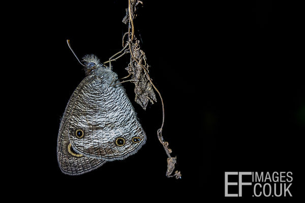 Silvery Butterfly With eyes On Closed Wings, At Night, Black Background