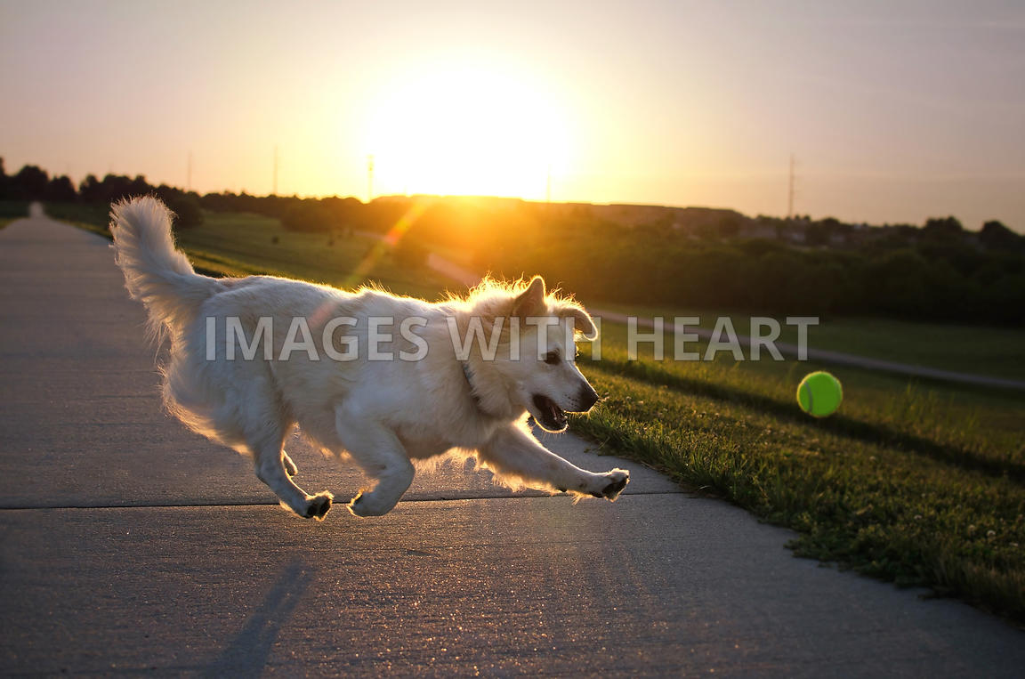 White fluffy dog chasing ball at sunset