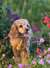 happy cocker spaniel dog amidst flowers and grass