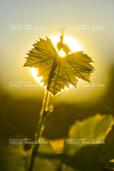 Vine Leaf and sun.