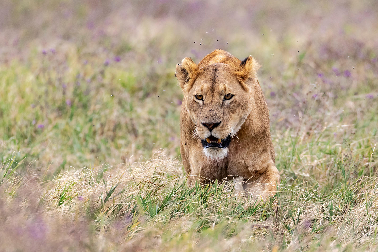 Lioness Walking through the Grass