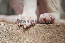 Close up of  white puppy paws with sharp nails