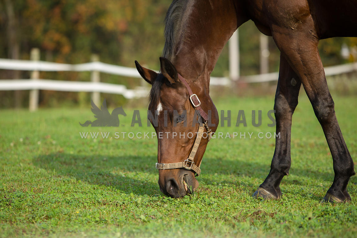 horse grazing on grass in pasture