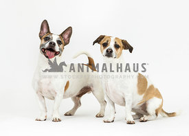 two brown and white dogs sitting and standing in studio