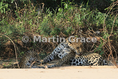 Male Jaguar (Panthera onca) 'Hero' (right) grooms himself, Three Brothers River, Northern Pantanal, Mato Grosso, Brazil. Imag...