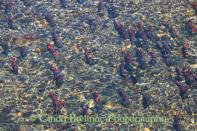 Colorful Lake Tahoe Autumn Salmon