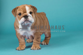Cute bulldog puppy posing againist a pale blue background