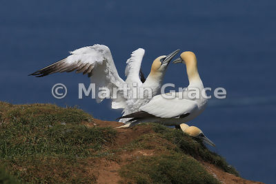 Freshly-landed Northern Gannet (Morus bassanus) displaying to its mate, Bempton Cliffs (RSPB), East Riding of Yorkshire, England