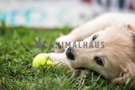 Golden Retreiver puppy lying in the grass with her tennis ball