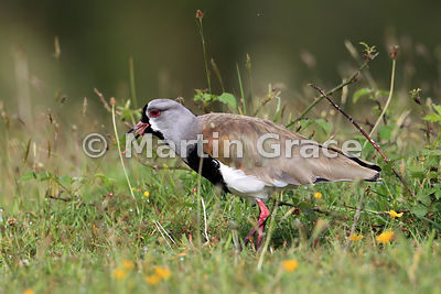 Southern Lapwing (Vanellus chilensis) with earthworm, Chiloe Island, Chile