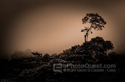 Tree in Cloud Forest