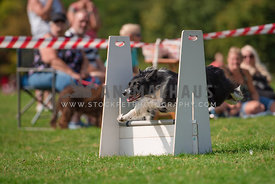 border collie jumping over flyball hurdle