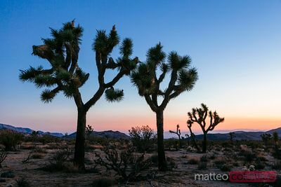 Joshua trees at sunrise, California, USA