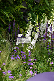 Association de vivaces : Digitalis 'Camelot White' (Digitale) et Verbena rigida (Verveine rugueuse) ; Paysagistes : Claire Mo...