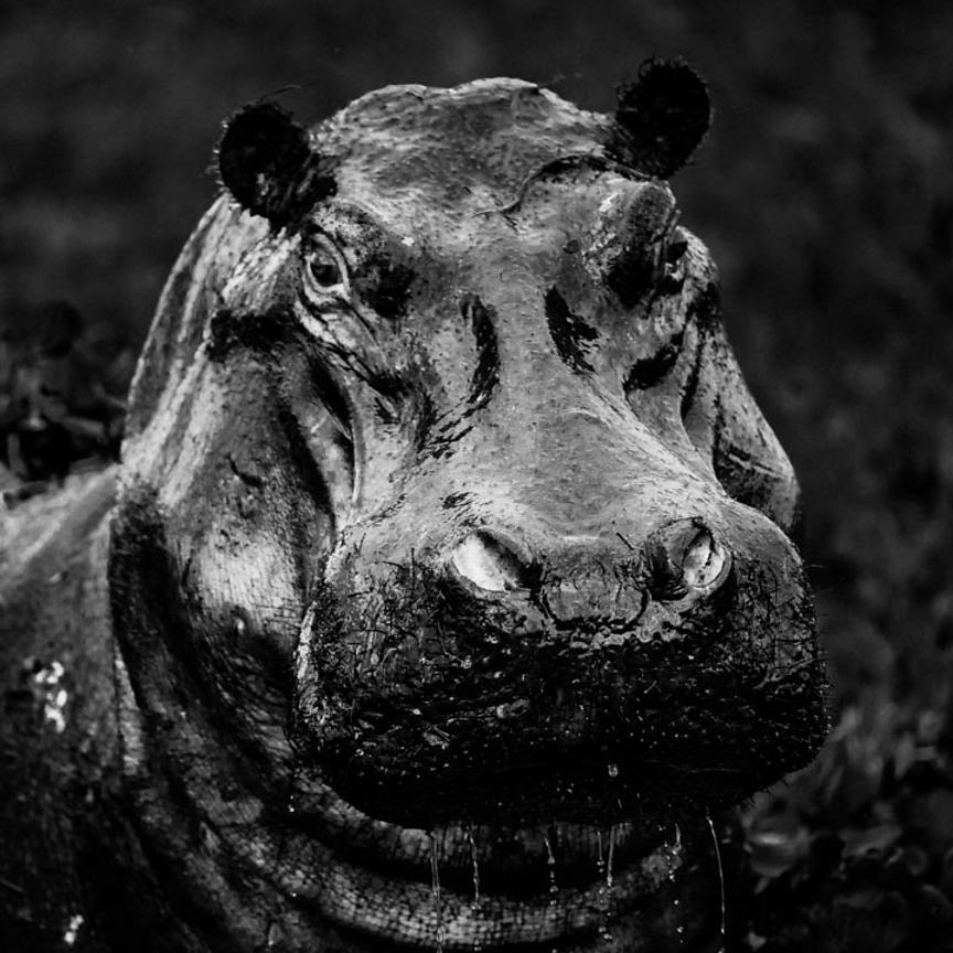 5897-Portrait_of_hippo_Laurent_Baheux