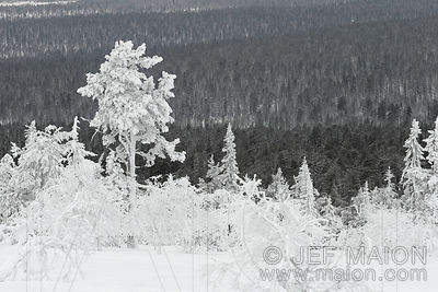 Snowcapped trees above taiga forest