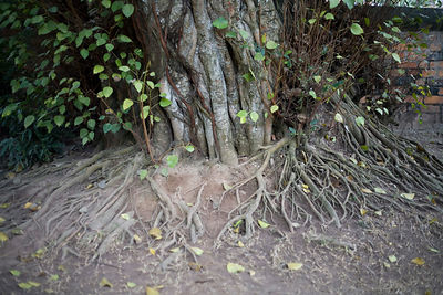 Ancient Tree roots at the Temple of Literature