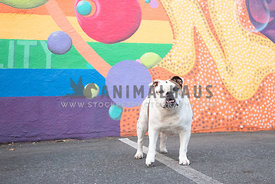 white bulldog standing in front of colorful painted wall