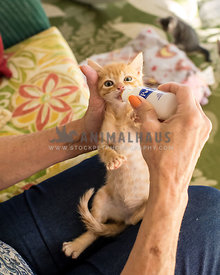 foster kitten being bottle fed