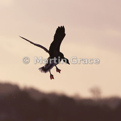 Silhouetted flying Pink-Footed Goose (Anas brachyrhynchos) preparing to land, Lancashire, England