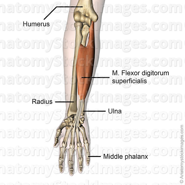 forearm-hand-musculus-flexor-digitorum-superficialis-muscle-middle-phalanx-skin-names