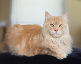 Red Silver Tabby Maine Coon Cat Lying in Profile Looking Toward Camera