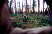 Brown bear next to photographing hide. Another hide in the backround