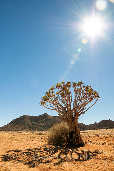 Sun shining above a single flowering quiver tree (Aloe dichotoma, kokerboom) casting a shadow on the sand in desert
