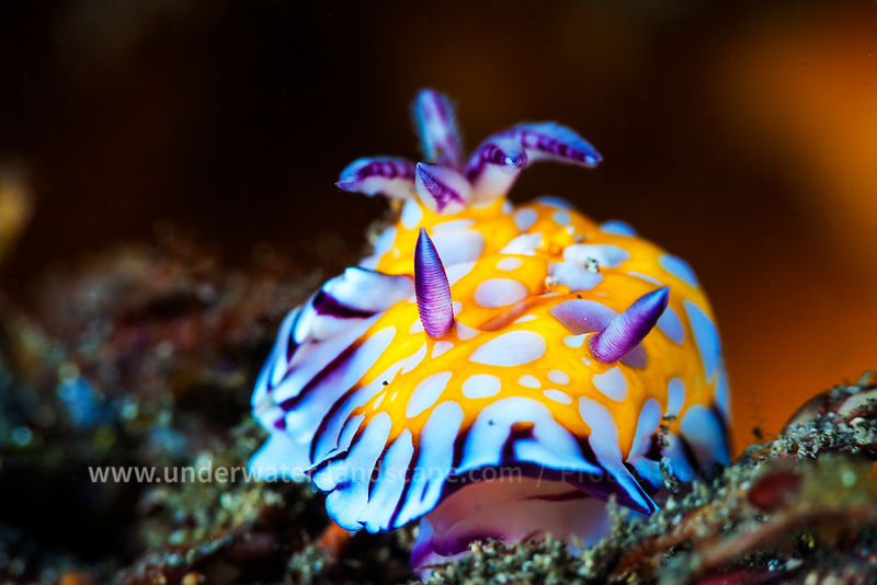 Nudibranch - Sea snail
