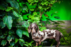 dappled dachshund lifting paw & closing eyes while standing in green plants